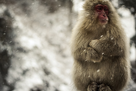 gray snow monkey at winter daytime