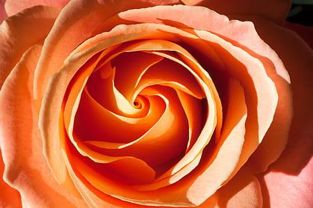 orange rose macro photo