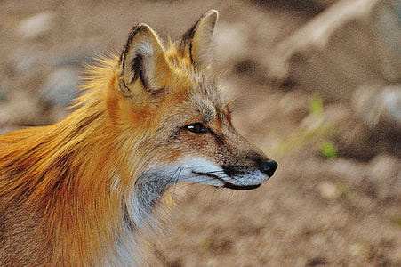 selective photography of brown fox