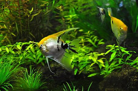 three yellow-and-gray angelfish underwater