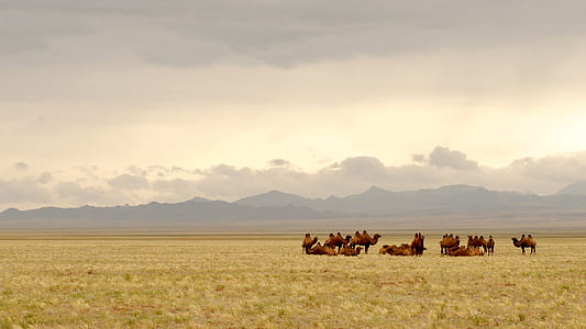 group of camel on top of brown grassland