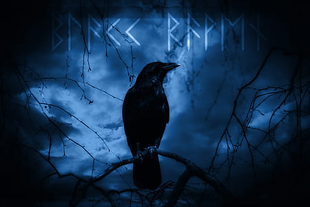 black crow illustration