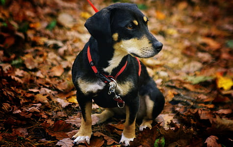 brown, white, and black puppy sitting on dried leaves