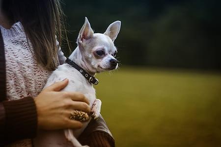 White Tan Smooth Chihuahua