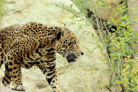 black and brown leopard