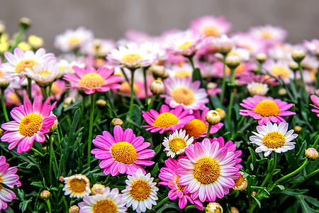 pink and white daisies in closeup photos