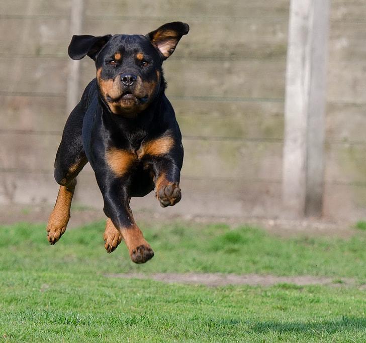rottweiler running on green grass field