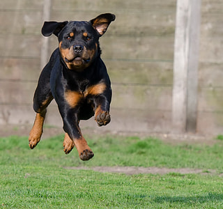 rottweiler running on green grass field