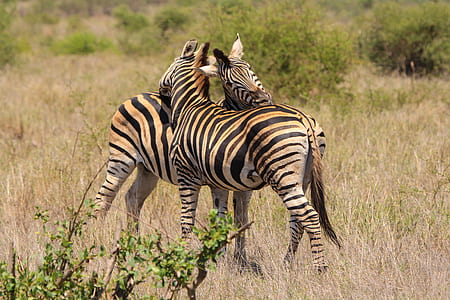 two zebras standing on brown grass field