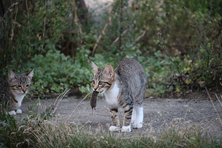 silver tabby cat carrying mouse by mouth