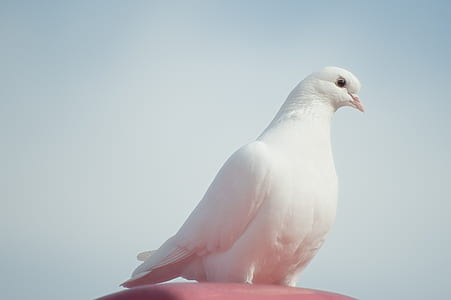 photography of white pigeon