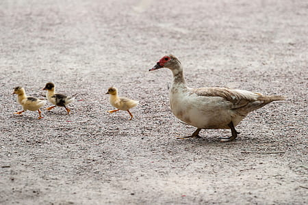 white duck and three ducklings