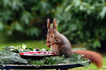 squirrel beside red plate