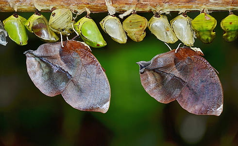 dried leaf butterflies and green pupa