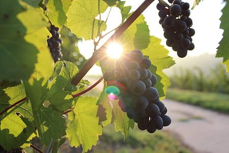 close-up photo of grapes