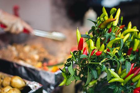 Chilli pepper plant