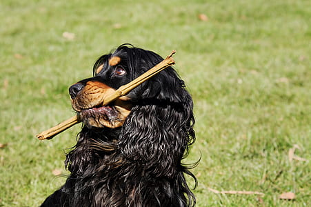 Gordon setter puppy on grass field