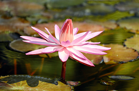 pink, flower, water lily, aquatic plant, pond plant, blossom