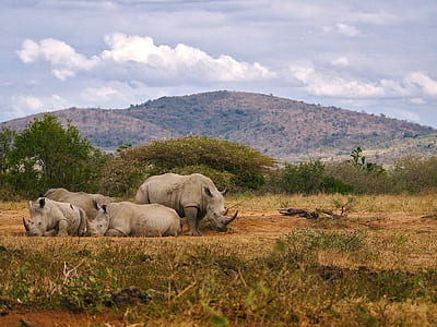four gray rhinoceros on ground