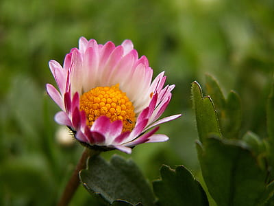 selective focus photography of half bloomed pink and white petaled flower