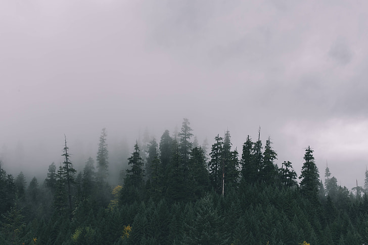 fog covering the pine forest