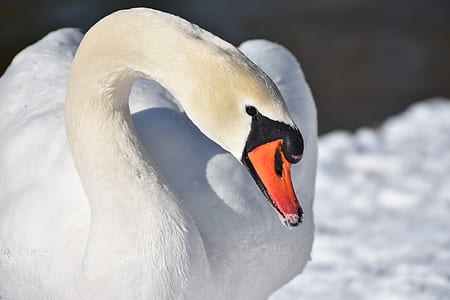 photo of white swan