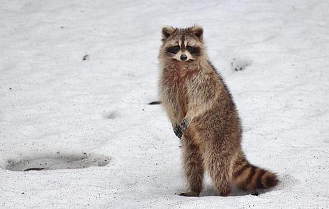brown raccoons standing on snow