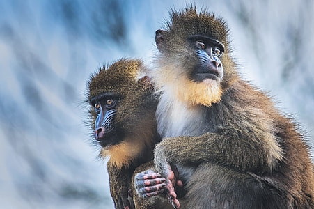 Closeup shot of Mandrill Monkeys