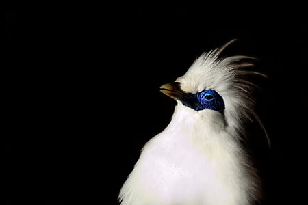 close-up photography of bali myna bird