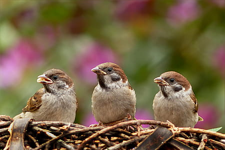 three brown sparrows on nest