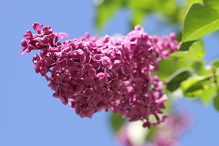 pink lilacs selective-focus photo
