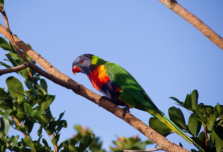 rainbow lorikeet perched on branch