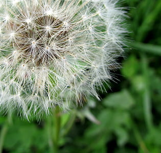 close-up photo of dandelion