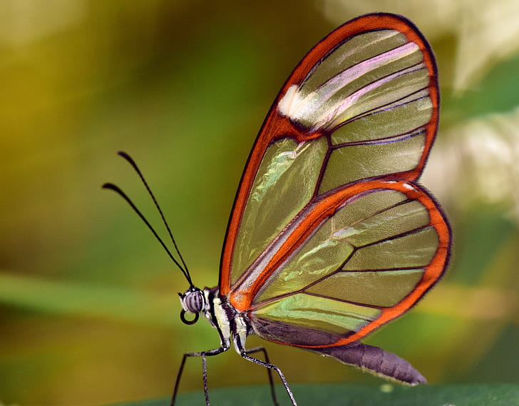 close-up photography of glasswing butterfly on green surface