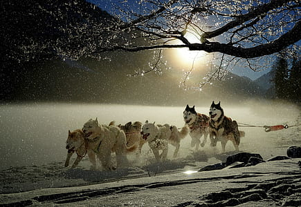 Siberian huskies running on show field during daytime