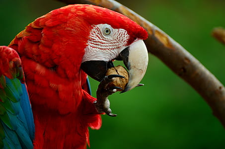 red scarlet macaw eating nut