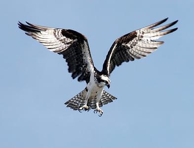 Black and White Eagle