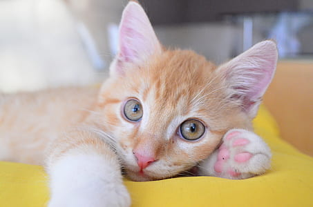 oranged eyed orange tabby kitten