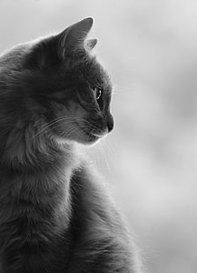 white and gray cat in white background