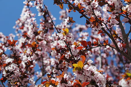 Close-up Photo of Cherry Blossoms