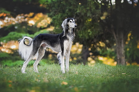adult white and black saluki