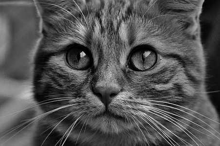 gray scale photo of tabby cat