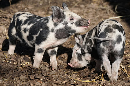 two black-and-white pigs
