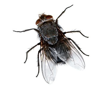 black house fly