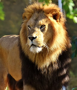 male lion near green foliage trees