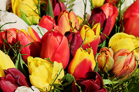 red, yellow, and orange tulips