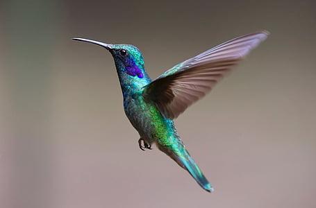 green and purple hummingbird