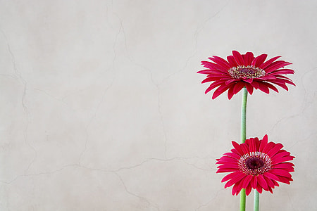 two red daisy flowers