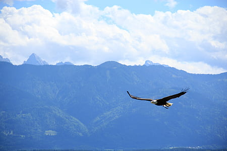 bald eagle flying during daytime
