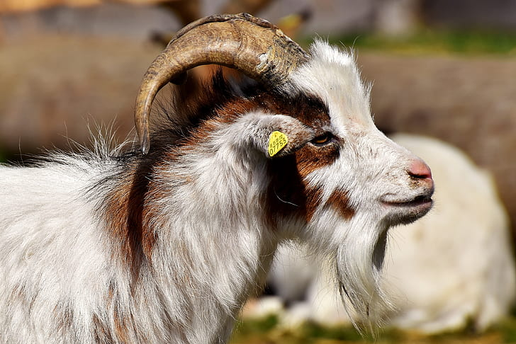white and brown goat selective focus photography